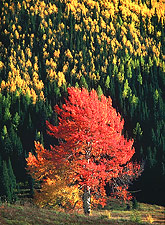 Aspen Forest, Autumn. Colorado. Color photograph