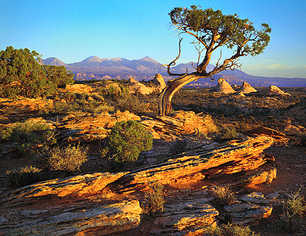 Juniper At Sunset, 1997. Arches National Park, Utah. Color Photograph