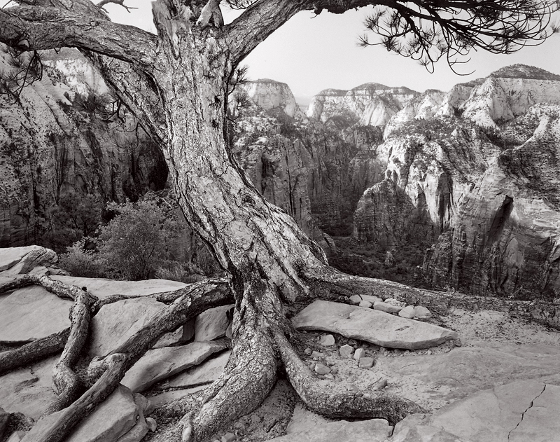 Ponderosa Pine, Angels Landing, Utah. Black and white photograph