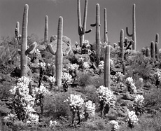 Cactus Forest, Arizona. Black and white photograph