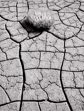 Cracked Mud and Bush, Death Valley. Black and white photograph