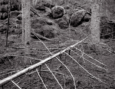 Fallen Branches, Oregon. Black and white photograph