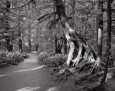 Forest Trail, Roots. olympic National Park, WA. Black and white photograph